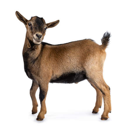 Brown agouti pygmy goat standing side view with head turned and looking at camera, isolated on white background