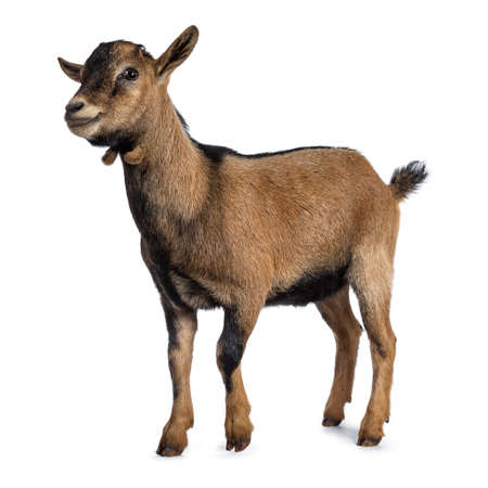 Brown agouti pygmy goat standing side way looking at camera, isolated on white background