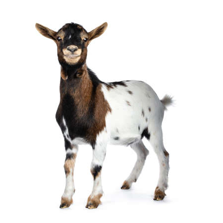 Cute smiling white, brown and black spotted pygmy goat standing side view with closed mouth, looking straight at camera isolated on white background