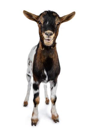 Drôle de chèvre pygmée tachetée blanche, brune et noire debout vue de face regardant la caméra avec la bouche ouverte isolée sur fond blanc