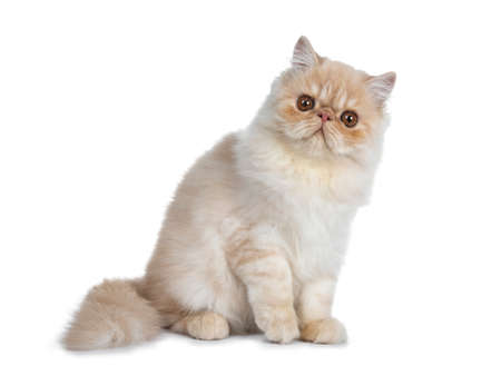 Sweet cream smoke Persian cat kitten sitting side ways with tail curled around looking straight at camera with big round brown eyes. Isolated on white.