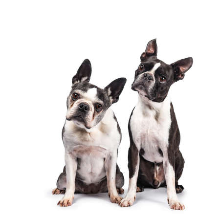 Funny duo or two black and white Boston Terriers sitting beside eachother, looking at camera with tilted heads, isolated on white background Stockfoto