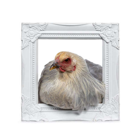Blue young adult Brahma chicken sitting in white photo frame, looking side ways, isolated on white background