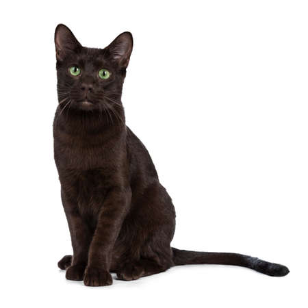 Young adult Havana Brown cat kitten, sitting elegantly and looking with green eyed sweet face to camera. Isolated on a white background.