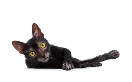 Cute young Lykoi / werewolf cat kitten laying down and looking at camera with big yellow eyes. Isolated on a white background. Фото со стока