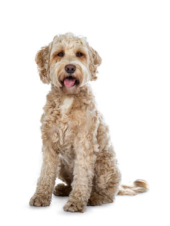 Sweet female adult sitting at the labradoodle dog with open mouth and tongue out, looking at camera with brown eyes. Isolated on a white background.