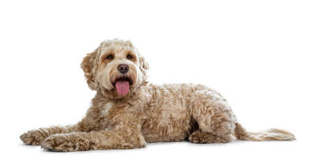 Young adult golden Labradoodle laying down side ways, looking beside lens with brown eyes. Mouth open and tongue out. Isolated on a white background.
