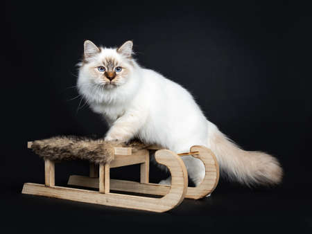 Cute tabby point Sacred Birman cat kitten standing side ways with front paws on wooden  fur sleigh, looking beside camera with blue eyes. Isolated on black background. Stockfoto
