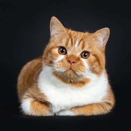 Cute youngster red tabby with white British Shorthair cat kitten laying with paws folded under body, looking at camera with orange eyes. Isolated on black Background. Stockfoto