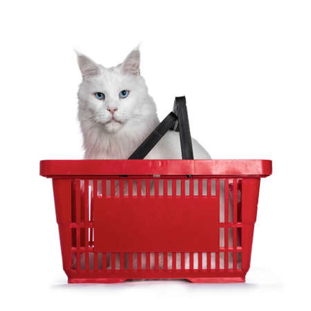 Solid white adult Maine Coon cat sitting in red shopping basket, looking straight into camera with blue eyes. Isolated on white background.