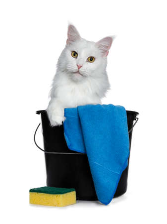 Solid white adult Maine Coon cat sitting in black bucket with sponge and cloth, looking straight into camera with yellow eyes. One paw on edge of bucket. Isolated on white background.