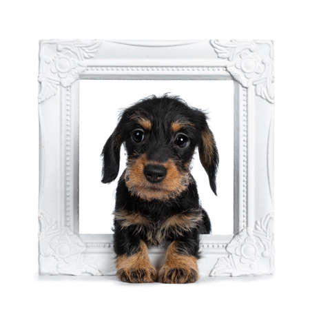 Super cute Mini Dachshund dog  sitting over white wirehaired frame, looking with big droopy eyes to camera. Isolated on white background. Stockfoto