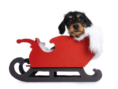 Super cute Mini dachshund dog  wirehaired sitting in red wooden sleigh with white fur blanket. Looking at camera with droopy eyes. Isolated on white background.