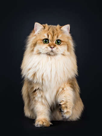Amazing fluffy British Longhair cat kitten, sitting straight up, looking at lens with big green  yellow eyes. Isolated on black background. One paw lifted. Stockfoto