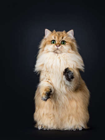 Amazing fluffy British Longhair cat kitten, standing on hind paws with front paws in air like meerkat, looking straight at lens with big green / yellow eyes. Isolated on black background.