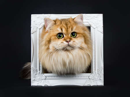 Amazing fluffy British Longhair cat kitten, standing with head through photo frame, looking straight at lens with big green  yellow eyes. Isolated on black background. Stockfoto