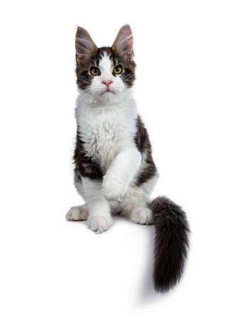 Cute black tabby with white coon cat kitten sitting front view. Looking at camera. Isolated on white background. One paw in air and tail around body hanging from edge. Stockfoto