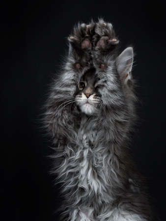 Head shot of impressive blue silver Maine Coon cat kitten looking in lens brown eyes and two paws above head in the air playing peek a boo / begging. Isolated on black background.