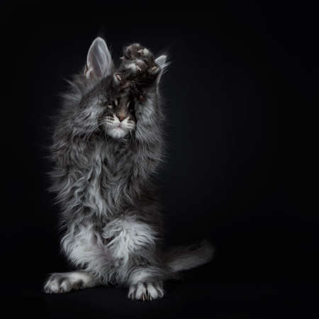 Impressive blue silver Maine Coon cat kitten standing on back paws, front paws above head covering the eyes, playing peek a boo / begging. Isolated on black background.