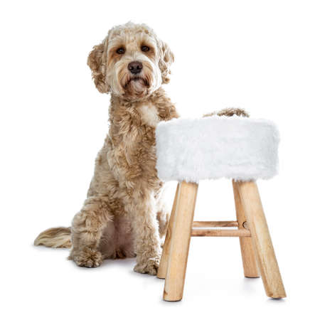 Young adult Golden Labradoodle dog, staring behind and with one front paw on little stool, looking at camera with sweet brown eyes and closed mouth. Isolated on white background. 版權商用圖片