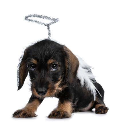 Super cute Mini Dachshund wirehaired wearing angel wings and halo. sitting side ways, looking very quilty with big droopy eyes to camera. Isolated on white background