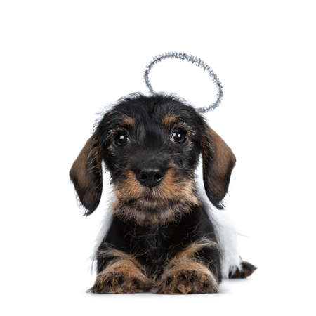 Super cute Mini Dachshund wirehaired wearing angel wings and halo. Laying down front view, looking with big droopy eyes to camera. Isolated on white background Banque d'images