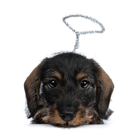 Super cute Mini Dachshund wirehaired wearing angel wings and halo. Laying f: down down, looking with big droopy innocent eyes straight camera. Isolated on white background