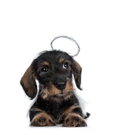 Super cute Mini Dachshund wirehaired wearing angel wings and halo. Laying down, looking sideways up with big droopy eyes beside camera. Isolated on white background