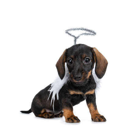 Cute Mini Dachshund wirehaired wearing angel wings and silver halo. Sitting half side ways, looking with sweet dark eyes straight to camera. Isolated on white background Banque d'images