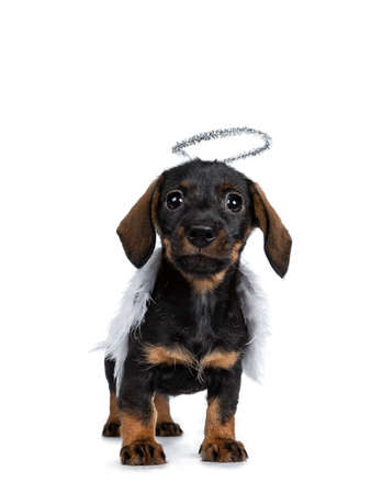Cute Mini Dachshund wirehaired wearing angel wings and silver halo. Standing facing front, looking with sweet dark eyes straight to camera. Isolated on white background Banque d'images