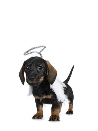Cute Mini Dachshund wirehaired wearing angel wings and silver halo.Standing half side ways, looking with sweet dark eyes straight to camera. Isolated on white background