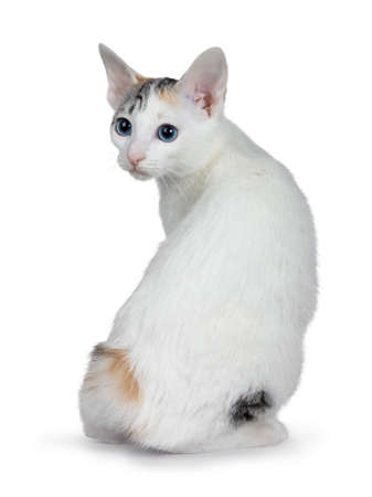 Cute silver patterned shorthair Japanese bobtail cat kitten sitting backwards, looking over shoulder at lens with blue eyes. Isolated on white background. 版權商用圖片
