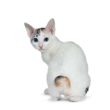 Cute silver patterned shorthair Japanese bobtail cat kitten sitting backwards, looking over shoulder at lens with blue eyes. Isolated on white background. Stock Photo