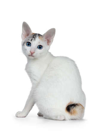 Cute silver patterned shorthair Japanese bobtail cat kitten sitting half backwards, looking over shoulder at lens with blue eyes. Isolated on white background.