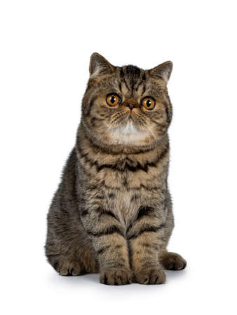 Adorable black tabby Exotic Shorthair cat kitten, sitting facing front. Looking straight ahead with lens with big round orange eyes. Isolated on a white background.