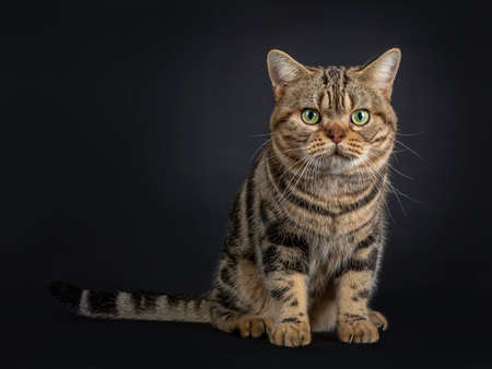 Handsome young adult black tabby American Shorthair cat sitting facing front. Looking straight at lens with yellow / green eyes. Isolated on a black background.