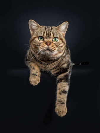 Handsome young adult black tabby American Shorthair cat laying down with paws hanging down from edge. Looking straight at lens with yellow / green eyes. Isolated on a black background.