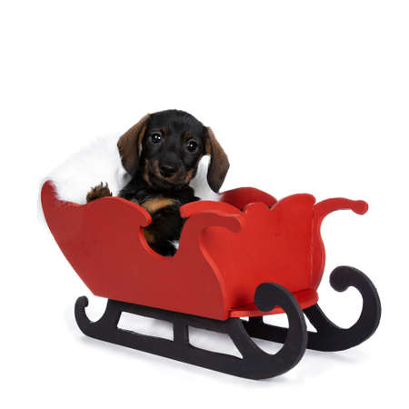 Dachshund, sitting in sleigh. Looking at camera with shiny dark eyes. Isolated on white background.