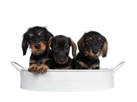 Three black and brown adorable wirehair mini Dachshund dog puppies sitting together in a white metal tray. Looking naughty straight to camera with shiny dark eyes. Isolated on white background) Stockfoto