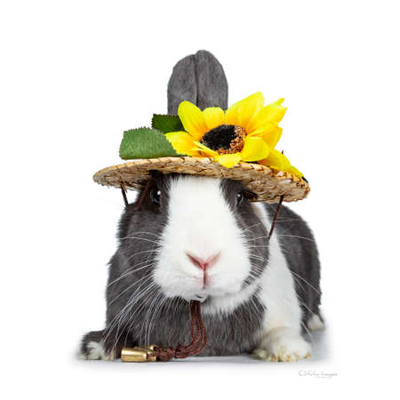 Cute gray with white European rabbit, Stalking a straw hat with sun flowers. Looking at camera facing front. Isolated on white background. Stockfoto
