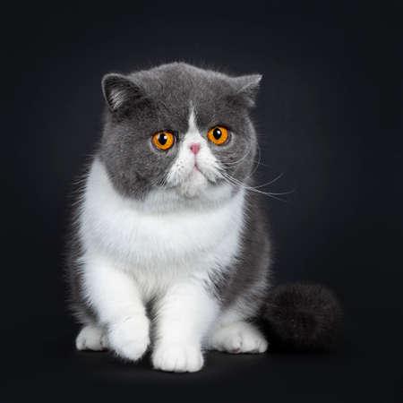 Azul con blanco lindo gato exótico de pelo corto sentado en el frente, una pata en el aire. Mirando grandes ojos redondos de color naranja brillante molesto por la lente. Aislado sobre fondo negro.