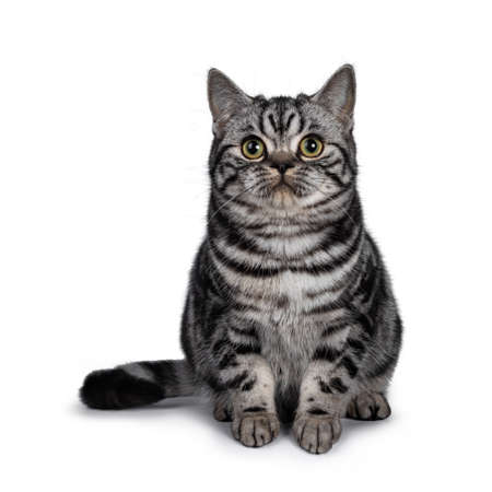 Cute dark tabby British Shorthair cat kitten, sitting facing front looking straight ahead from above camera. Tail beside body. Isolated on white background. Stock Photo