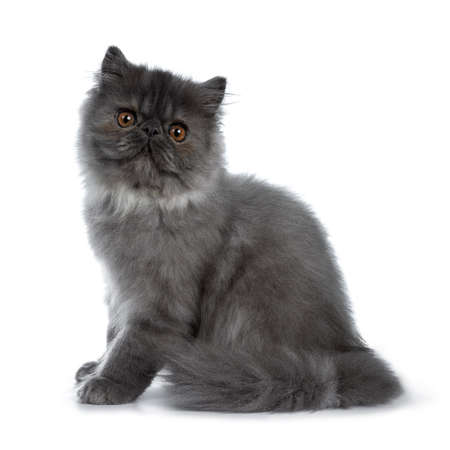 Cute black smoke Persian cat kitten, sitting up side ways. Looking straight at camera with big round brown eyes. Isolated on white background. Tail around body.