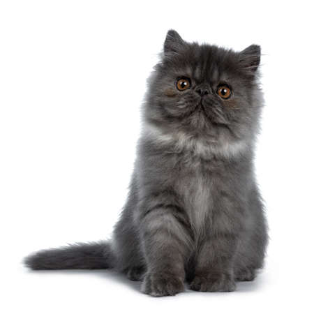 Cute black smoke Persian cat kitten, sitting up facing front Looking straight at camera with big round brown eyes. Isolated on white background. Tail beside body.