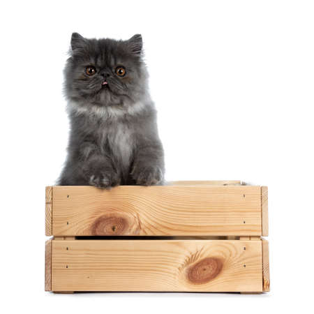 Cute black smoke Persian cat kitten, standing in wooden crate, paws on the edge. Looking straight at camera with big round eyes and sticking out tongue. Isolated on white background.