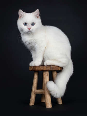 Cute red silver shaded cameo point British Shorthair sitting on wooden stool, looking straight into lens with blue eyes, Isolated on black background Tail hanging down. Stock Photo
