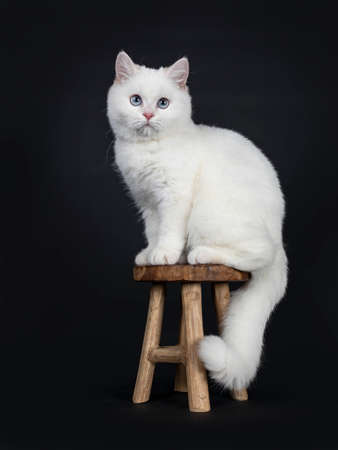Cute red silver shaded cameo point British Shorthair sitting on wooden stool, looking straight into lens with blue eyes, Isolated on black background Tail hanging down. Stockfoto