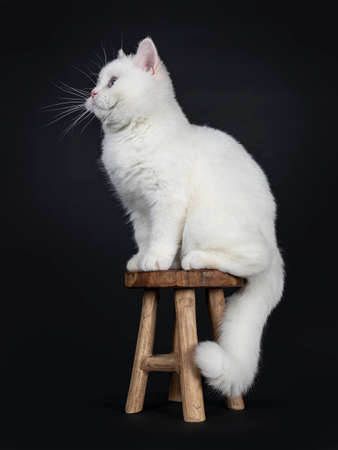 Cute red silver shaded cameo point British Shorthair sitting sideways on a wooden stool, looking straight ahead sideways with blue eyes, Isolated on black background Tail hanging down.