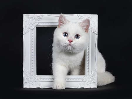 Cute red silver shaded cameo point British shorthair sitting in front of a white background photo frame facing front, looking at camera with blue eyes. Isolated on black background.