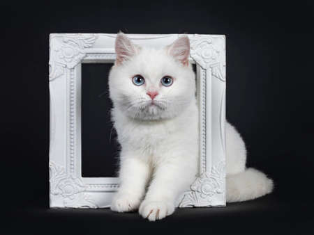 Cute red silver shaded cameo point British Shorthair sitting in front of the camera with blue eyes. Isolated on black background. Stockfoto